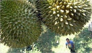 Odorless_durian